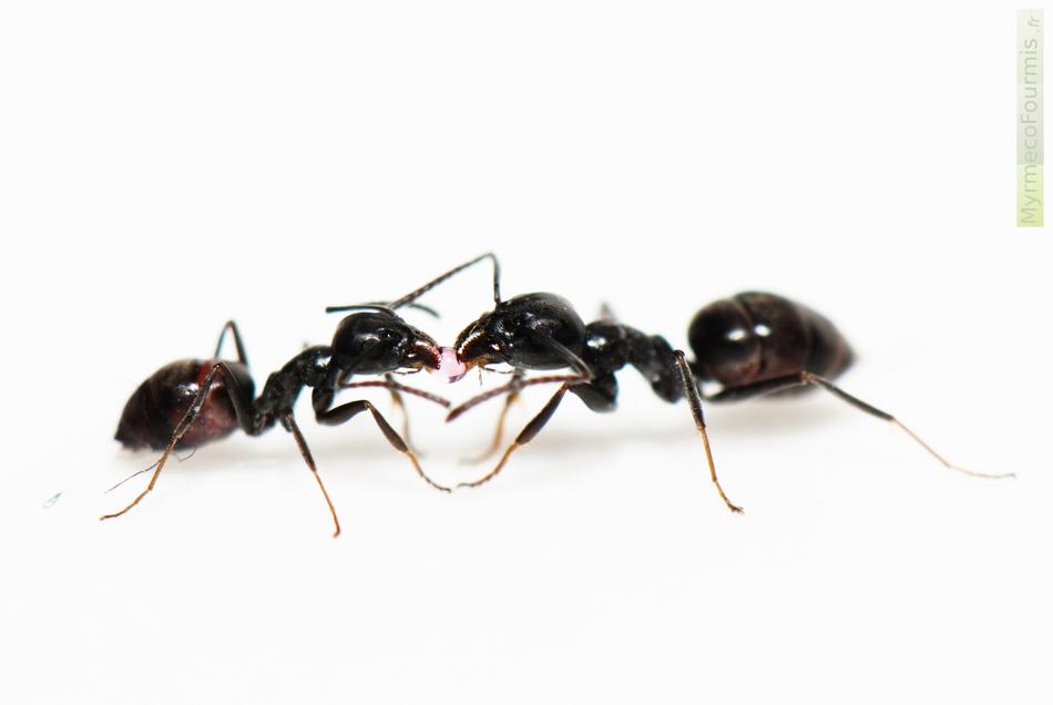 les fourmis du printemps extermination de fourmis gestion parasitaire dalton. Black Bedroom Furniture Sets. Home Design Ideas